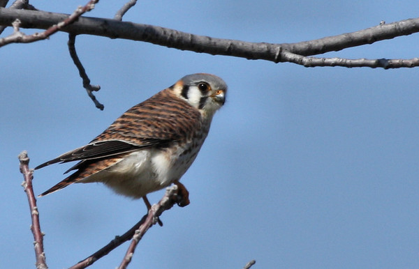A female American kestrel (Falco sparverius) perched in a tree (2009_02_15_009810)