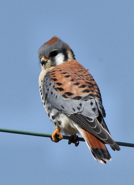 A male American kestrel (Falco sparverius) perched on a wire (2009_02_15_009596)