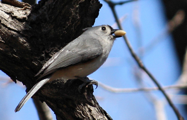 A tufted titmouse (Baeolophus bicolor) with a large seed in its beak (2008_12_28_003881)