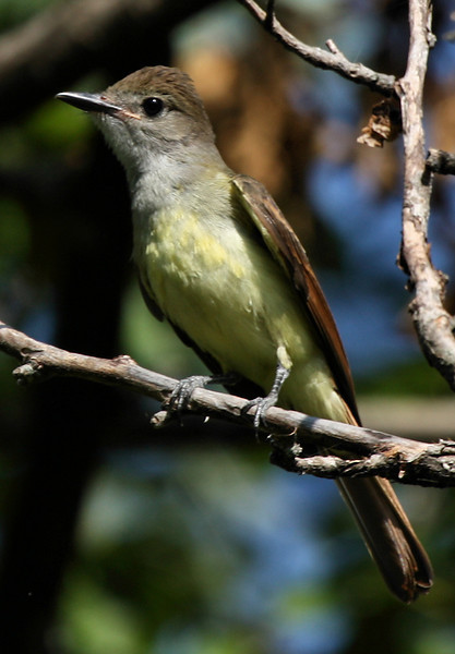A great crested flycatcher (Myiarchus crinitus) perched in a tree (2009_07_18_026997)