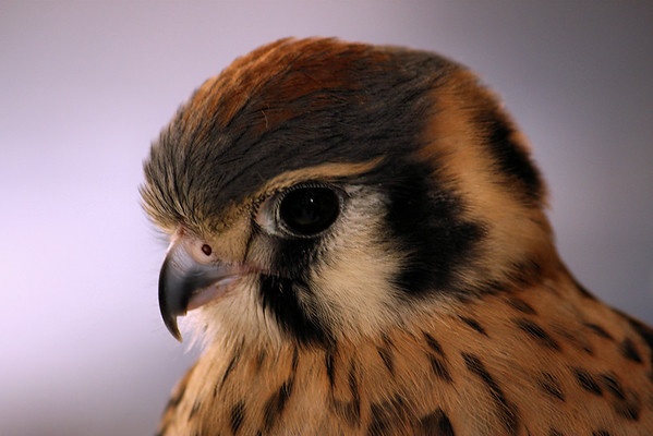 Close-up of a male American kestrel (Falco sparverius) (2009_07_04_025731)