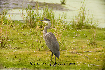Great Blue Heron, Rock County, Wisconsin