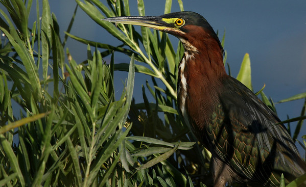A green heron (Butorides virescens) standing still in the southern watergrass (Hydrochloa caroliniensis) (2009_08_22_028512)