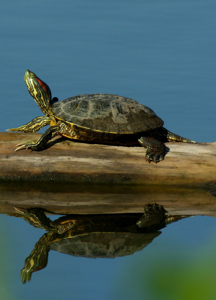 A red-eared slider (Trachemys scripta elegans) sunning on a log (2009_08_22_028529)