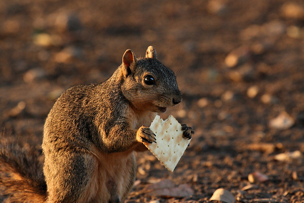 A cracker-eating fox squirrel (a.k.a. eastern fox squirrel, stump-eared squirrel, raccoon squirrel or monkey-faced squirrel; Sciurus niger) at sunset (2009_07_24_027544)
