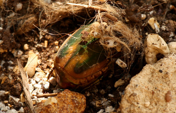 A green June beetle (Cotinis nitida) hiding under a lean-to made of debris (2009_08_02_028213)