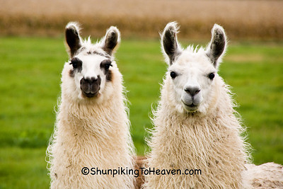 Two Llamas, Waupaca County, Wisconsin