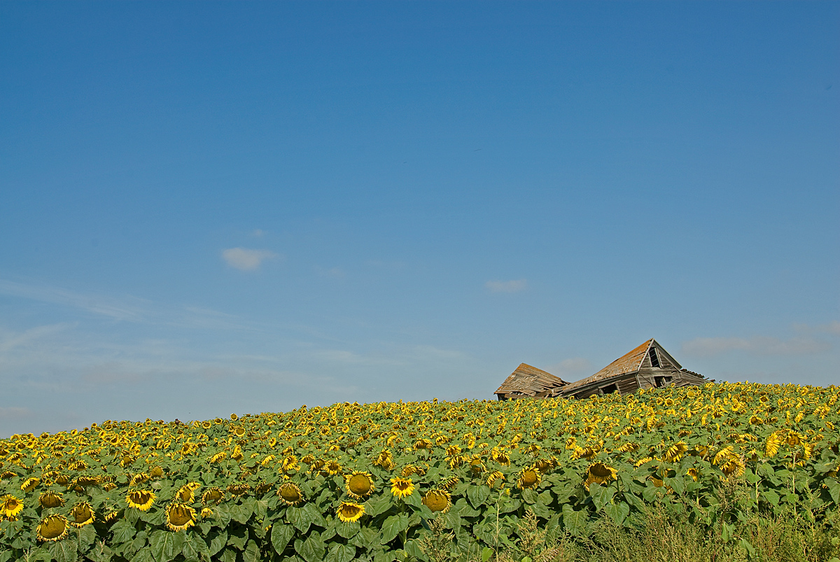 Dilapidated building in sunflower field, North Dakota