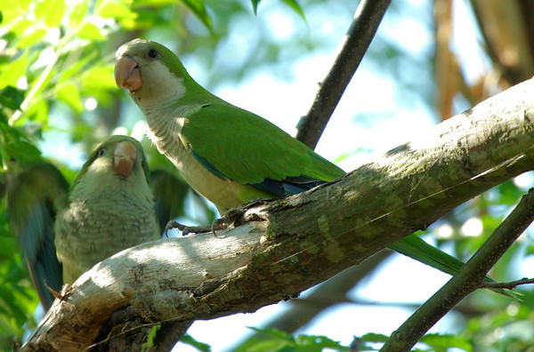 A juvenile monk parakeet (a.k.a. quaker parrot; Myiopsitta monachus) begs for attention(2009_06_07_022694)