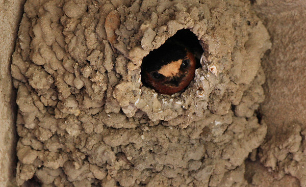 Cliff swallow (Petrochelidon pyrrhonota) peeking out from its nest (2009_06_07_022779)