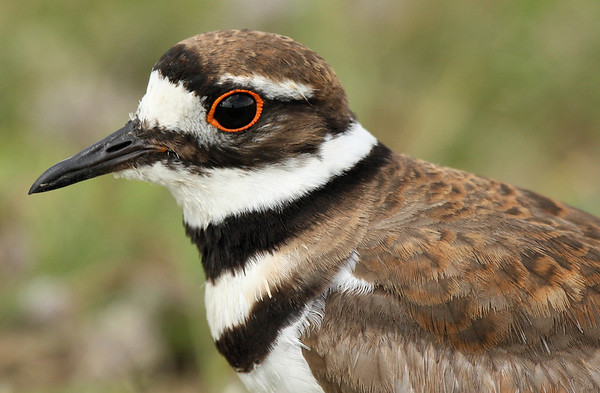Close-up of a killdeer (Charadrius vociferus) (2009_06_03_021915)