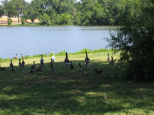 Ducks and geese leaving the shade as they walk toward the lake