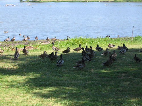 Ducks and geese hesitating to leave the shade for the lake's cool water