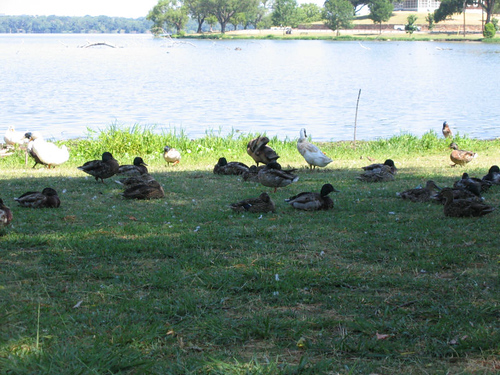 Ducks and geese returning to the shade and lying down for an afternoon nap