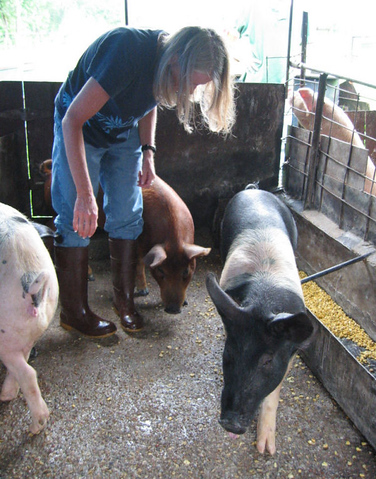 Jenny hanging out with the adult pigs