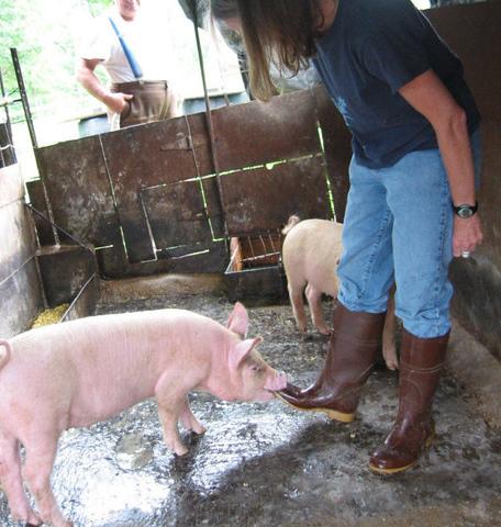 A juvenile pig biting Jenny's foot
