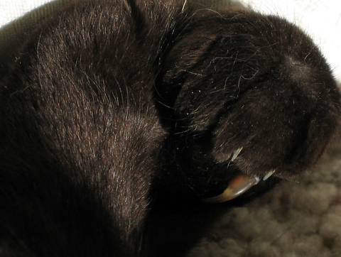 A close-up of Kako's paw showing her middle claw sticking out