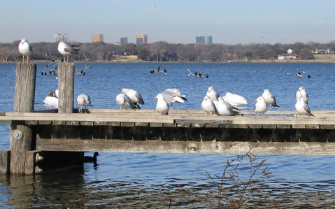 A colony of ring-billed gulls (Larus delawarensis) lounging on the pier in early morning sunlight