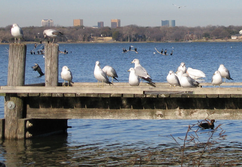 A colony of ring-billed gulls (Larus delawarensis) lounging on the pier while a double-crested cormorant (Phalacrocorax auritus) takes off from the water behind them