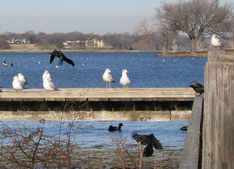 A colony of ring-billed gulls (Larus delawarensis) on the pier while two great-tailed grackles (Quiscalus mexicanus) fly by in different directions