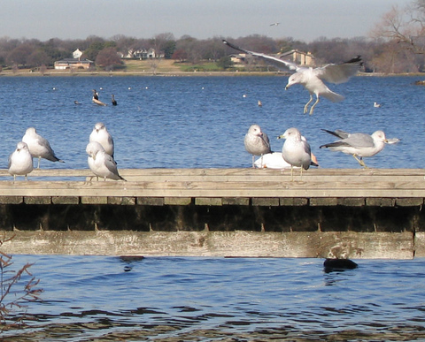 A colony of ring-billed gulls (Larus delawarensis) on the pier as one comes in for a landing