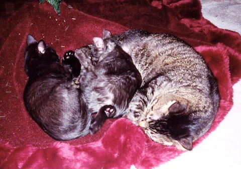 Kako and Kazon as kittens resting with Grendel on the Christmas tree skirt