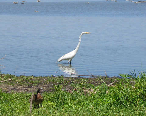 A great egret (Ardea alba) strolling along the shore while a mallard drake (Anas platyrhynchos) stands camouflaged on land