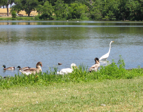 A great egret (Ardea alba) strolling along the shore while mallard ducks (Anas platyrhynchos) and Chinese geese (Anser cygnoides) make their way toward land