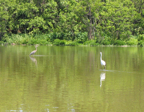 A great egret (Ardea alba) walking in the shallows as a great blue heron (Ardea herodias) stands motionless