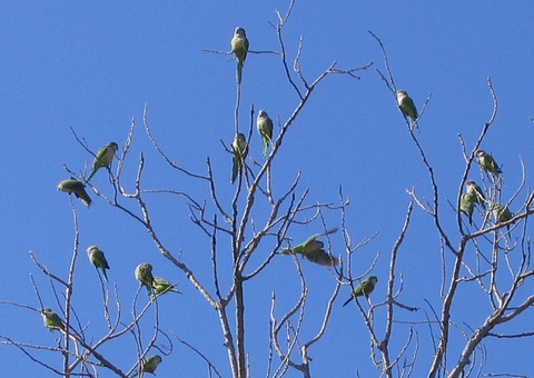Monk parakeets (Myiopsitta monachus) congregating in the top of a tree