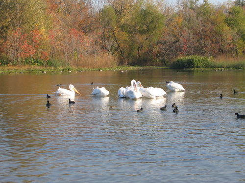 American white pelicans (Pelecanus erythrorhynchos) and American coots (Fulica americana) in the lake's shallows
