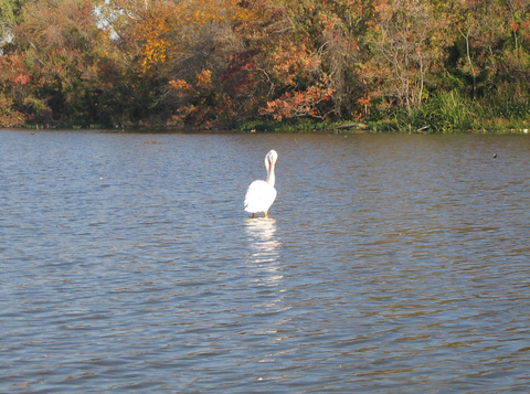 American white pelican (Pelecanus erythrorhynchos) preening in shallow water with autumn foliage in the background