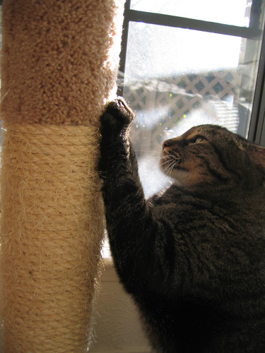 Grendel scratching on the sisal scratching post in front of the window