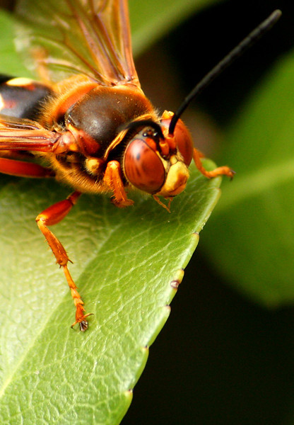 Close-up of a male eastern cicada-killer wasp (Sphecius speciosus) perched on a leaf (2009_07_05_025997)