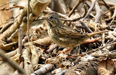 A Lincoln's sparrow (Melospiza lincolnii) standing in a pile of brush (2009_03_21_013906)