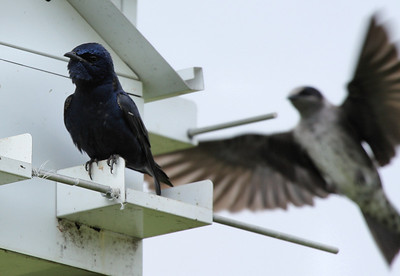A male purple martin (Progne subis) sitting on a martin house as a juvenile male flies up in the background (2009_04_04_014165)