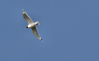 A Franklin's gull (Larus pipixcan) flying overhead (2009_04_10_014615)