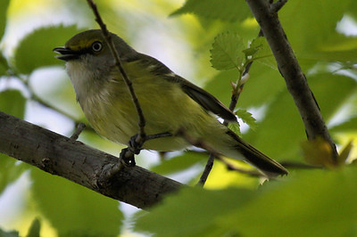 A white-eyed vireo (Vireo griseus) perched in a tree (2009_04_16_015404)