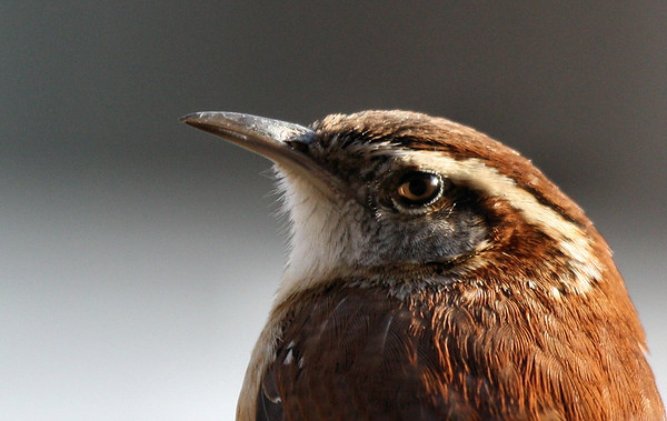 Close-up of a Carolina wren (Thryothorus ludovicianus) (2009_02_23_011150)