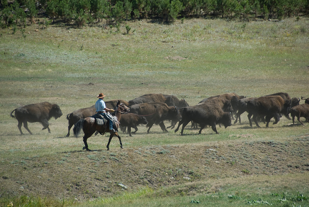 Buffalo roundup, Custer State Park, South Dakota