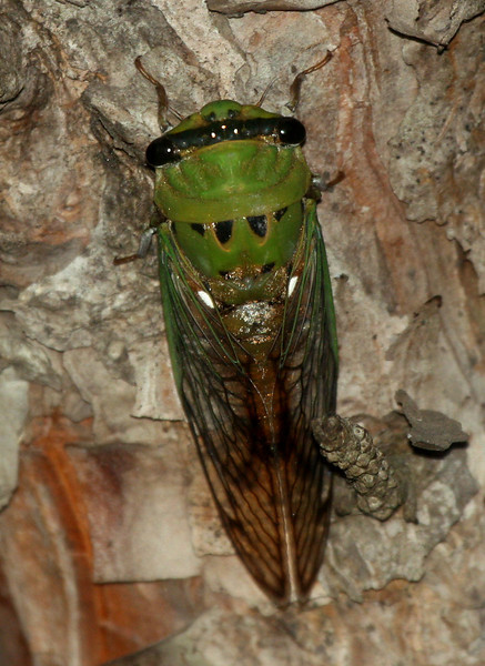 A male superb cicada (a.k.a. green harvestfly, green cicada or superb green cicada; Tibicen superba) clinging to the side of a tree (2009_07_06_026142)