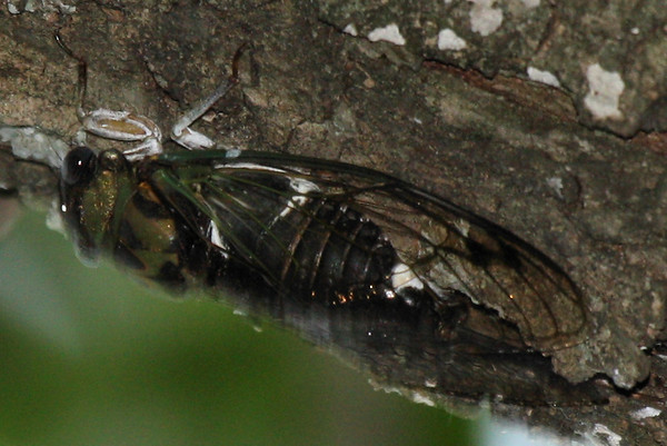 A male silver-bellied cicada (a.k.a. silverbelly; Tibicen pruinosus) clinging to a tree branch (10870400)