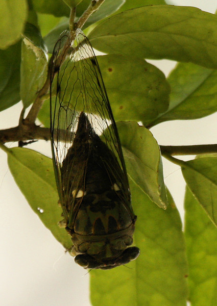 A female silver-bellied cicada (a.k.a. silverbelly; Tibicen pruinosus) hanging upside down in a tree (2009_09_08_028935)