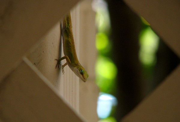 A female green anole (Anolis carolinensis) seen through the patio fence (20080901_11693)