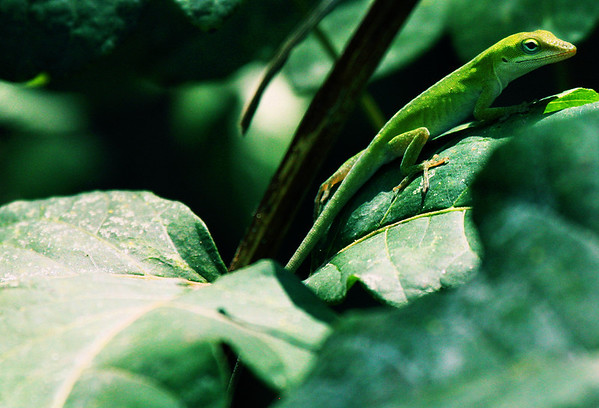 A baby green anole (Anolis carolinensis) perched on a leaf (2009_09_06_028883)