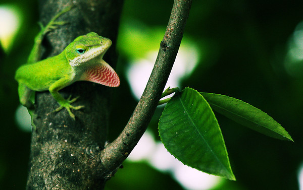 A male green anole (Anolis carolinensis) displaying from deep within some bushes (2009_09_08_028942)