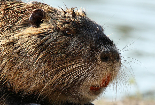 Close-up of a nutria (a.k.a. coypu; Myocaster coypus) at sunset (2009_06_14_023675)
