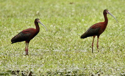 Two white-faced ibises (Plegadis chihi) standing in a flooded field (2009_05_04_017730)