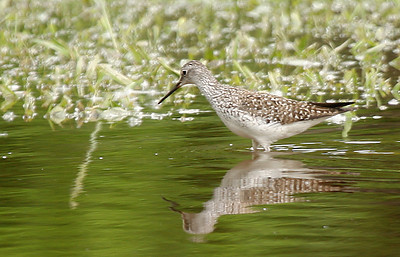 A lesser yellowlegs (Tringa flavipes) wading through shallow water (2009_05_04_017651)