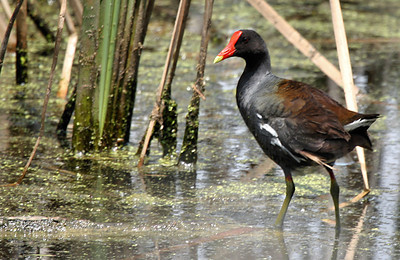 A common moorhen (Gallinula chloropus) standing in a marsh (2009_05_16_018929)
